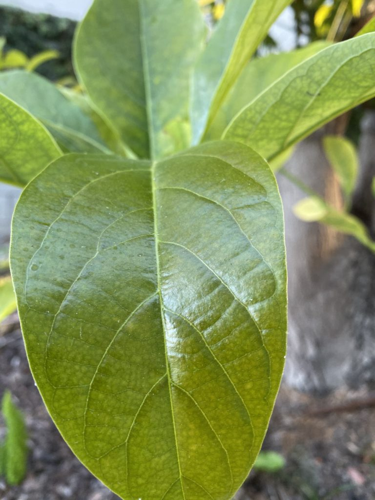 leaves of our avocado tree