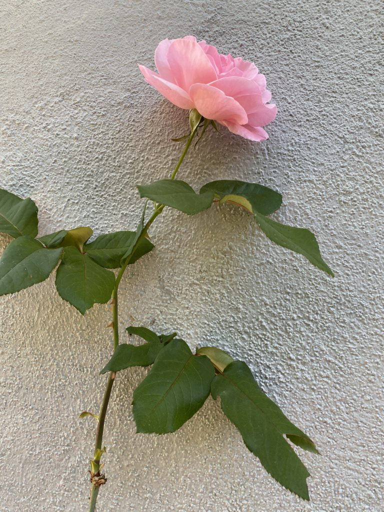 one of our pink roses blooming against a wall
